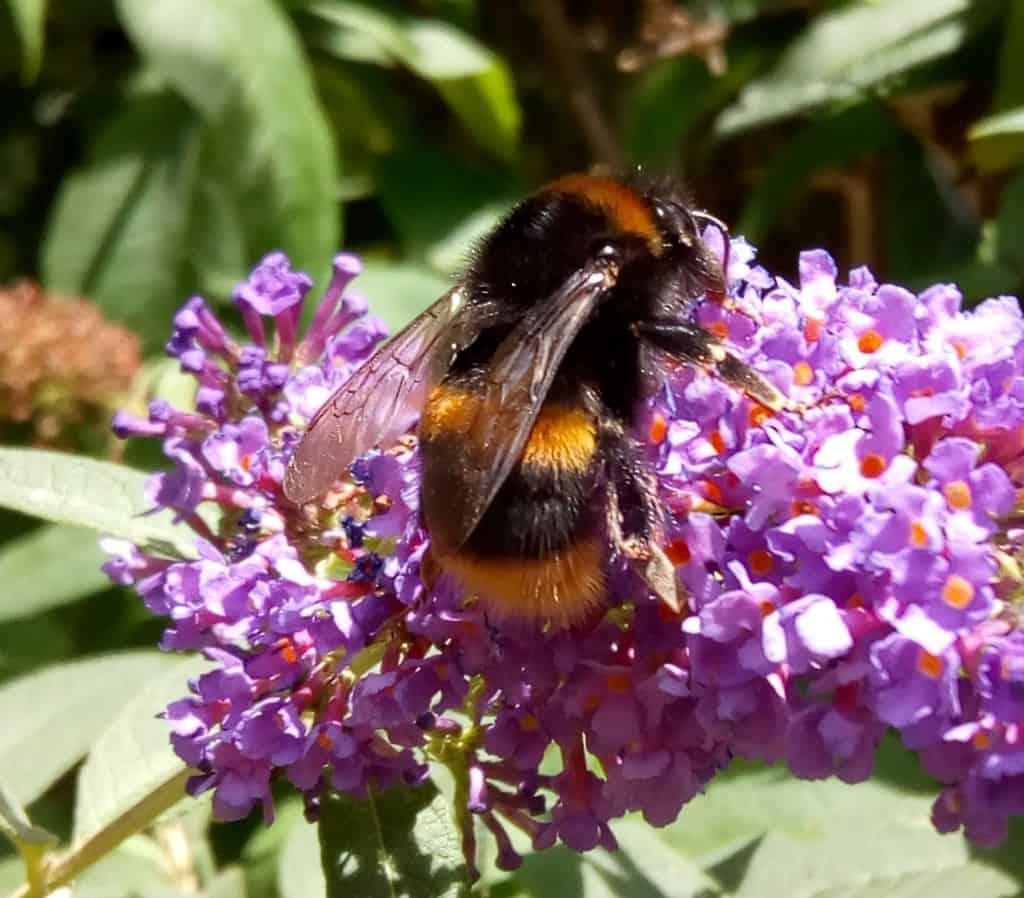 Buff tailed bumblebee, Bombus terrestris