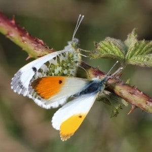 Orange tip pair, Anthocharis cardamines