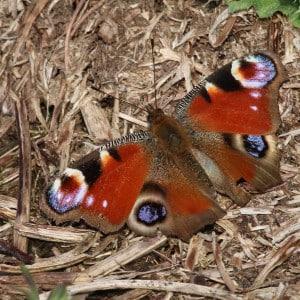 Peacock, Aglais io