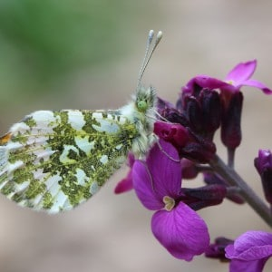 Orange tip, Anthocharis cardamines