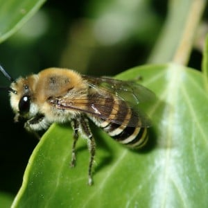 Ivy bee, Colletes hederae
