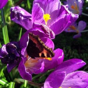 Small tortoiseshell, Aglais urticae in crocus flower