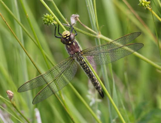 Hairy Dragonfly reappears at Llangorse Lake, Breconshire