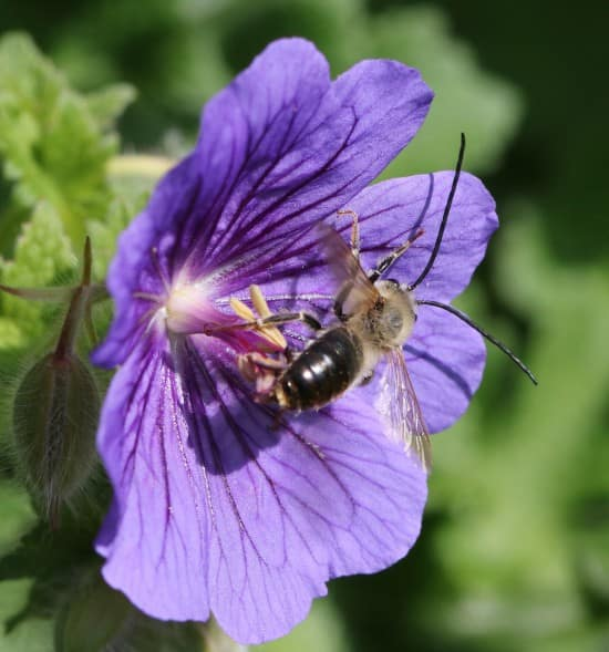 A first for Breconshire - Long horned bee, Eucera longicornis